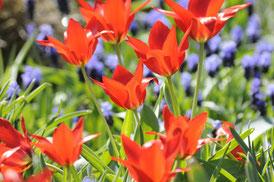 Gestaltung mit Blumenzwiebeln: Rote Wildtulpen mit blauen Traubenhyazinthen