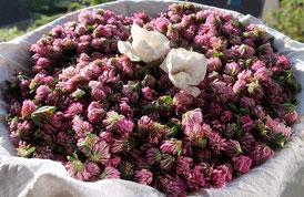 Fleurs de trèfle rouge