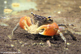 Zu den Krebstieren zählen auch unsere Krabben, Krebse und Zwerggarnelen.