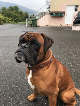 Lüti Hunde Halsband - Leder, nickelfrei, massiv, swiss made