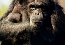 Abb. 2: Betrachtet man Abbildungen von Gesichtern von Primaten und Menschen, so fallen etliche Unterschiede auf, die auf eine evolutionäre Weiterentwicklung schließen lassen. (Foto: Nadine Becker/pixelio.de)