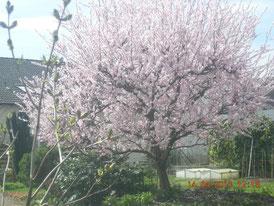 Mandelbäume Wachenheim