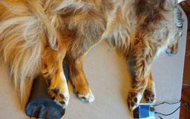Behandlung einer Sehnenruptur an der linken Hinterpfote bei Bronko mit der Magnetfeldtherapie