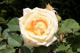 """Rosebush"" by xedos4"