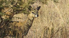 Afrikas Fauna kann auch niedlich...
