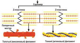 Саркомер, актин, миозин