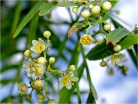Flores del Pimentero falso