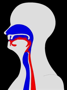 rouge: voies alimentaires, bleu: voies respiratoires