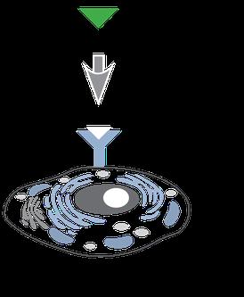 Biochemische Steuerung einer Zelle; das Hormon dockt an den Rezeptor an