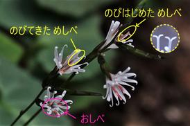 写真4.キッコウハグマの花のつくり(詳細)