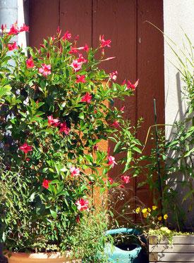 Les potées de dipladénias ont été couvertes de fleurs durant tout l'été