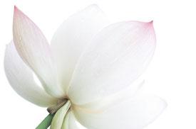 Lotus Blüte weiß