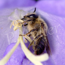Glockenblumen-Sägehornbiene, Melitta haemorrhoidalis