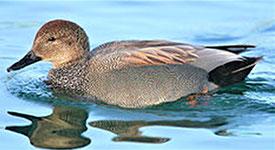 オカヨシガモ(丘葦鴨。『ウィキペディア(Wikipedia)』)