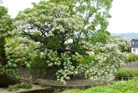 在りし日のセンダンの大木 。白い花が満開。