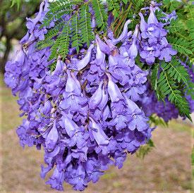 NZ産候補木の1つ=ジャラカンダ(出典: フリー百科事典『ウィキペディア(Wikipedia)』)