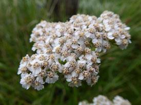 variété à fleurs blanches