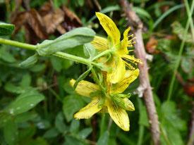 Millepertuis tacheté (fleurs ponctuées de taches et lignes noires)