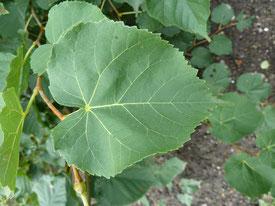 Tilleul à petites feuilles, feuille.