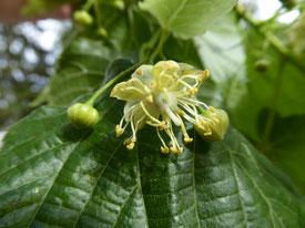 Fleur (tilleul commun)
