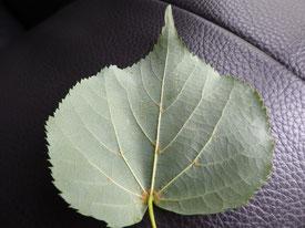 Tilleul à petites feuilles, face inférieure de la feuille (touffes de poils roux à l'aisselle des nervures)