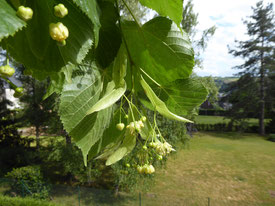Inflorescence (tilleul commun)