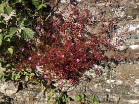 Herbe à Robert, exemplaire exposé au soleil, beaucoup plus rouge.