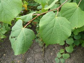 Tilleul à grandes feuilles, feuilles.