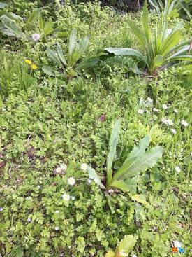 Un coin de vagabondes dans mon jardin naturel