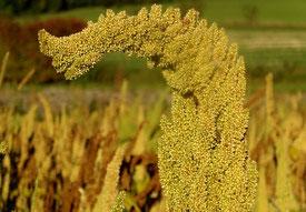 Amaranth - Pflanze