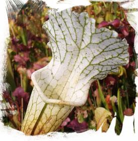Schlauchpflanze Sarracenia Leucophylla weiß
