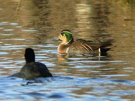 ・2012年12月19日 柏の葉公園  ・第1、第2調節池を行き来している。