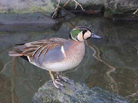 ・2010年2月23日 都立公園  ・通勤経路上の公園に着くと、小さな池にオナガガモとカルガモの群れ。少し離れてトモエガモ(♂1)がいた。