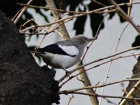 ・2015年1月16日 東京都  ・川沿いの桜の木を転々とし、虫などを捕食してた。