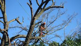 Elagage par travaux acrobatiques sur Érable à feuilles argentées
