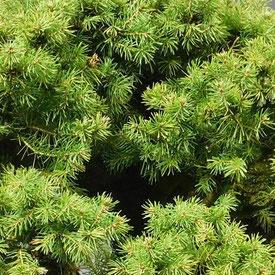 Zuckerhutfichte (Picea glauca)