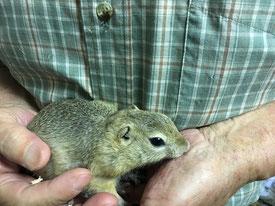 福岡手乗りインコ小鳥販売店ペットミッキンに手乗りリチャードソンジリスの赤ちゃんが仲間入りしました。