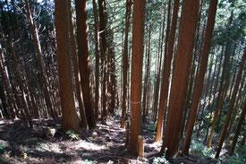 上の写真の左半分は間伐前、右半分は間伐後と思われます。写真ではわかりづらいですが、樹木密度が違います。また、右は下草の緑が目立つ反面、左は暗く下草の緑が確認できません。