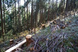 日の出山山頂を後に歩き進むと、途中間伐作業と思われる光景が目に入り始めます。