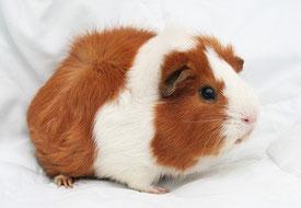 Image du cochon d'Inde originaire d'Amérique Latine