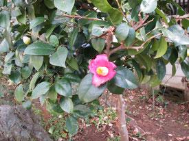 年内に咲くのは初めて!の椿です。
