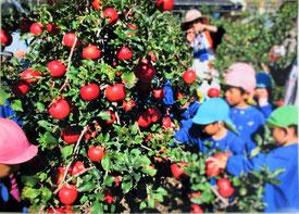 保育園の子たちが今井農園で「リンゴ狩り」を楽しんでいる写真も届きました。右の写真はたわわに実ったシナノゴールド。