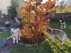 Vier Huskypöstler rund um ihren Freundschaftsbaum