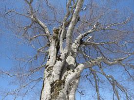 ▲今年4月に御影森山で見たブナの巨木