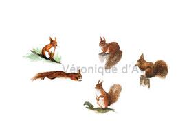 R26 Etude d'écureuil