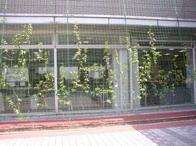 緑のカーテンの一部拡大