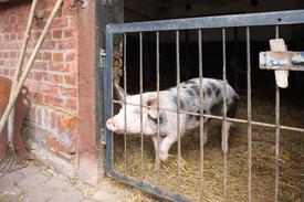 Schweinestall auf dem Biobauernhof