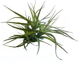 Tillandsia aeranthos x Tillandsia tenuifolia