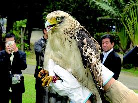 放鳥されたカンムリワシの幼鳥「アルタ=16日午前、やいま村」(環境省石垣自然保護官事務所提供)