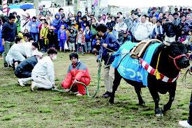 2年ぶりに牛との綱引きが行われ、人間チームは完敗した=26日午後、牛まつり広場